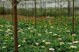 A Dalat greenhouse is overflowing with gerber daisies